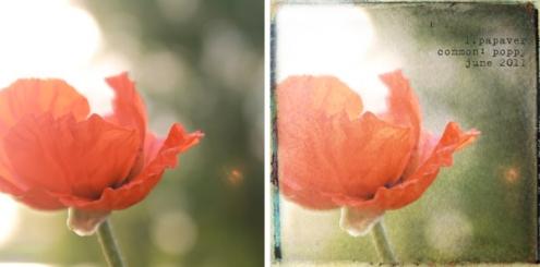 poppy-062011.jpg
